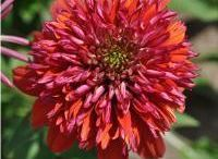 If you like Echinacea