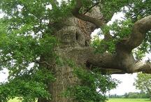 Oak tree- Meşe ağacı