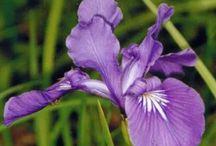 Iris/Peonies