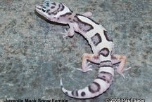 Geckos / Art of Gheckos