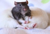 En råtta vill jag ha