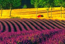 Lavender / Just a collection of beautiful photos of lavender fields