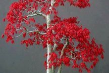 Alberelli bonsai
