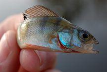 Baars vissen / vissen op baars