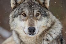 wolf (lobo)