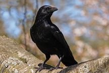 Crow ~ Photography, Facts / Facts and photos of crows and ravens. Inspiration: Blacky the Crow - character from Thornton W. Burgess books