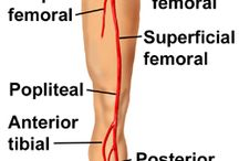 ARTERY VEIN  LOWER LIMB