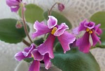 African violets wasps & unusuals