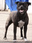 Staffordshire Bull Terrier / International Dog's Personal Websites Catalogue