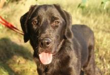 Labradory w Potrzebie / Adopcje labradorów - adopcje@labradory.info