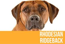 Rhodesian Ridgeback / A large and muscular dog, the Rhodesian Ridgeback was not only developed as hunter but also as a family protector. The breed can be light wheaten to red wheaten and are sleek and glossy in appearance. Originally bred to hunt lions the breed is also known as the African Lion Hound.