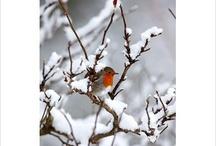 Robins / by Della Dreher