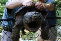 snap turtle n tortoise n more