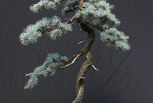 Picea glauca B.