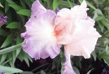 Irises / by Debra Fields