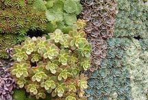 Suculentas / Suculentas, estas plantinhas tão adoráveis! Aqui mil idéias com elas!