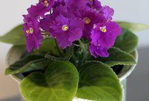 African violets / Flower