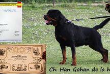 Ch. Han gohan de la horde des Centurions