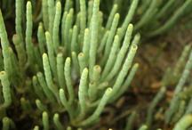salicornia / salicornia