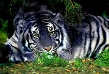Tigers, Leopards, Panthers, & Such...OH MY / Big Cats / by Karen Martin