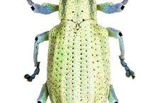 curculionidae entyminae