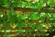 Grapes/druiven pergola / Voor een mooie overkapping in de tuin.