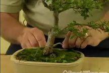 Bonsai Tree Growing & Care