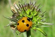 Ladybird Beetles at Eskrigg Reserve