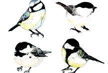 Bird illustrations: Song birds / Beautiful illustrations of birds