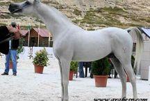 Yeguada Ybarra / Spanish Arabian Horses. Yeguada Ybarra was founded in 1920, as one of the first spanish breeders
