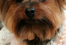 For the love of Yorkies!
