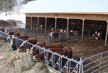 Cattle yard and...