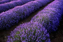 Lavender / Il viola
