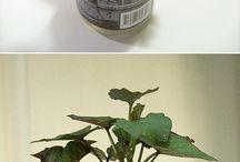 Plantas / Matas sweet patata