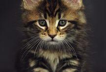 メインクーン猫