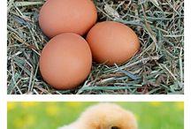 Chicken Unit Study