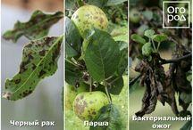 Яблони и груши