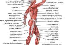 the body.anatomy