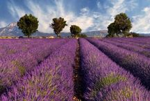 Lavender / by Wendy Schoonhoven