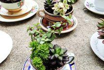 Tea Cup Plants