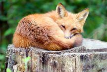=:> Fox Rest