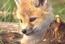 Foxes for Lea