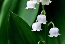 Flowers ~ Lillies