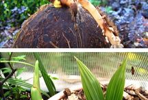 Coconut plants
