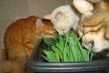 grama gatos