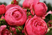 Obtenteurs et fermiers de roses ...