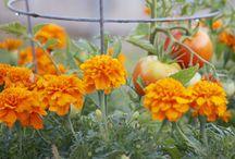 Gardening Companion Plants