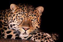 ANIMAL • Leopard