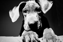 #LoveYourGreatDance / Once you've had a Great Dane you can't go back