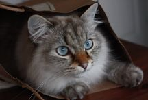 Sibirisk katt och Neva Masquerade